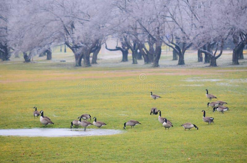 Oiseaux sur un champ d'herbe verte en hiver images libres de droits