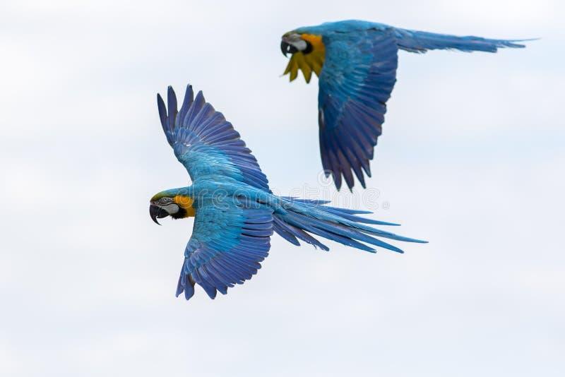 Oiseaux tropicaux en vol L'ara bleu et jaune parrots le vol photo libre de droits