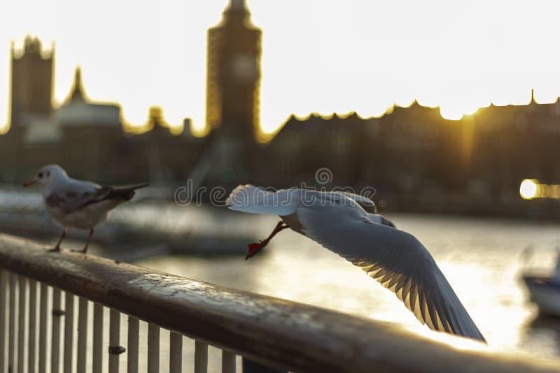 Oiseaux volant à Londres photographie stock libre de droits