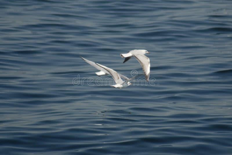 Oiseaux volant au-dessus de l'océan image libre de droits
