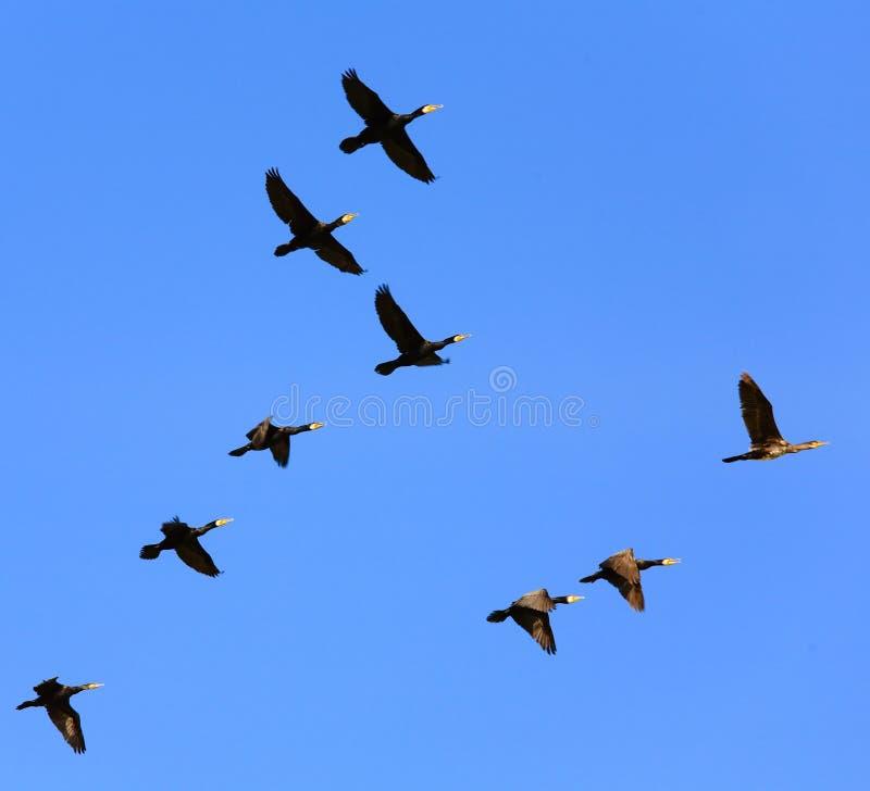 Oiseaux volant dans le ciel images stock