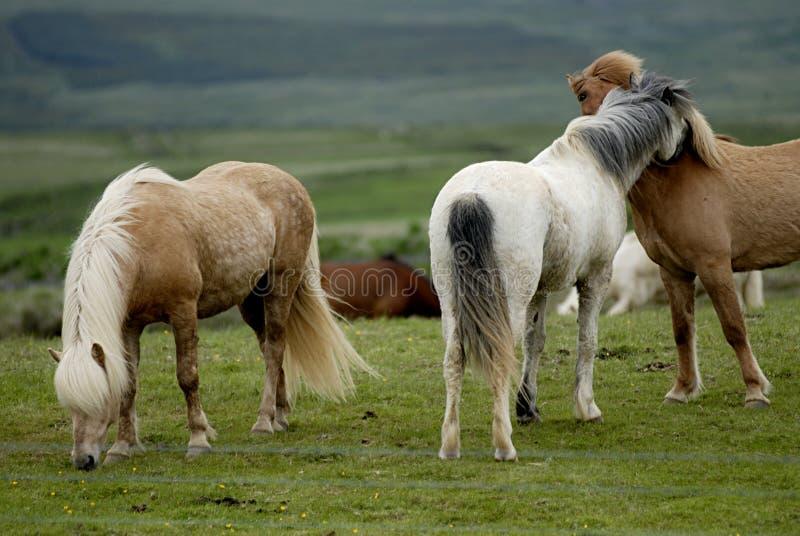 Oisillon islandais de chevaux entre eux photo stock