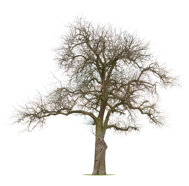 oisolerad förgrena sig tree för äpple arkivbilder