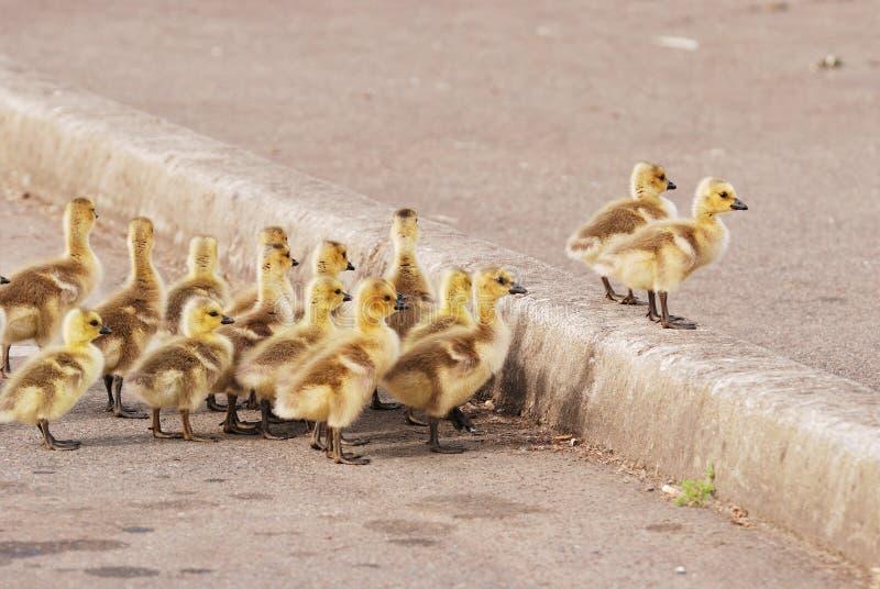 Étang de canard images stock