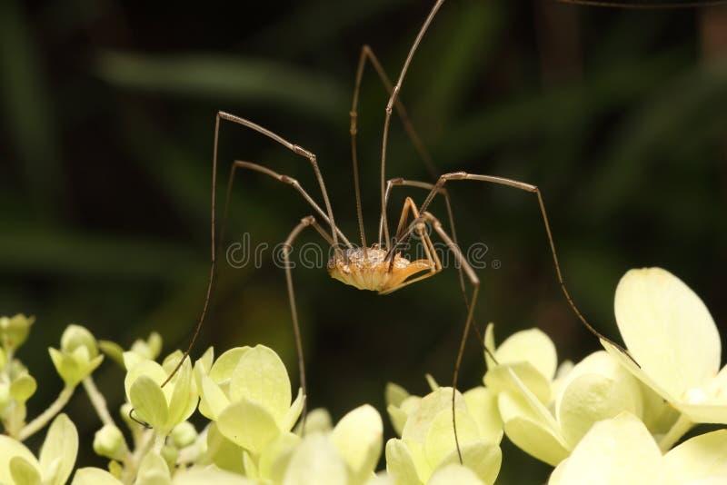 ojczulek nogi tęsk pająk zdjęcie royalty free