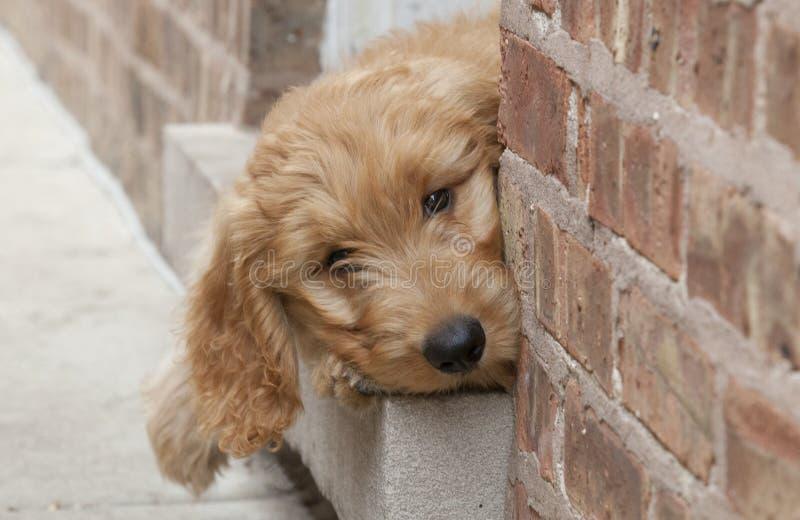 Ojeadas del perrito de Goldendoodle fuera de la entrada del ladrillo foto de archivo libre de regalías