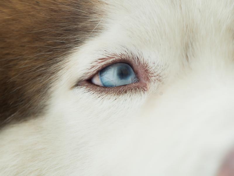Ojo azul del husky siberiano foto de archivo