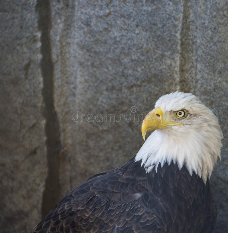 Ojo de águila serio foto de archivo
