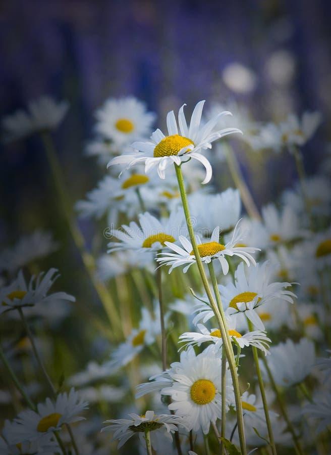 Ojo de buey daisy.GN del vulgare del Leucanthemum foto de archivo
