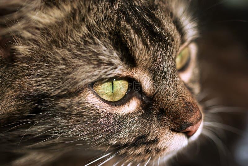 Ojo de gato fotografía de archivo libre de regalías