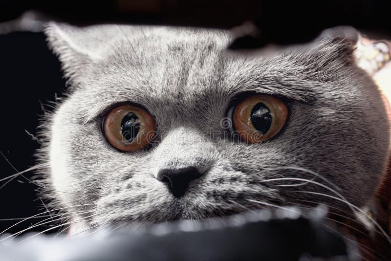Ojo de gato amarillo que espía fuera del agujero foto de archivo