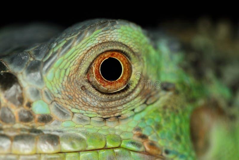 Ojo de la iguana imagenes de archivo