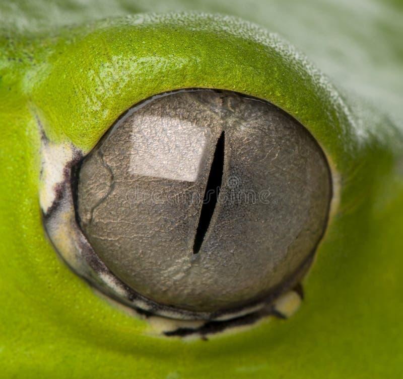 Ojo de la rana foto de archivo libre de regalías