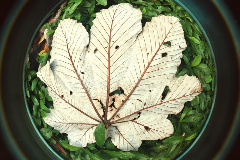 Ojo de pescados grande de las hojas del árbol de Yagrumo en Forest Puerto tropical RIco imagenes de archivo