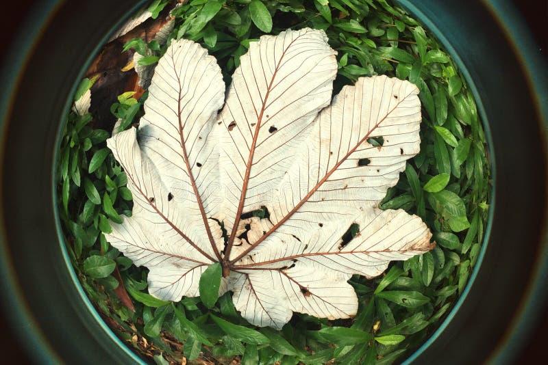 Ojo de pescados grande de las hojas del árbol de Yagrumo en Forest Puerto tropical RIco fotografía de archivo libre de regalías