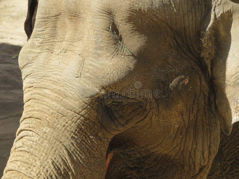 Ojo del elefante foto de archivo libre de regalías