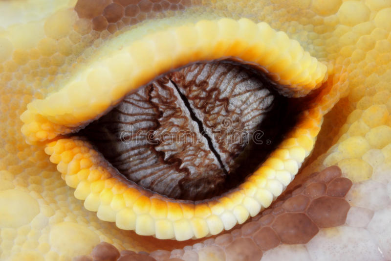 Ojo del gecko del leopardo foto de archivo