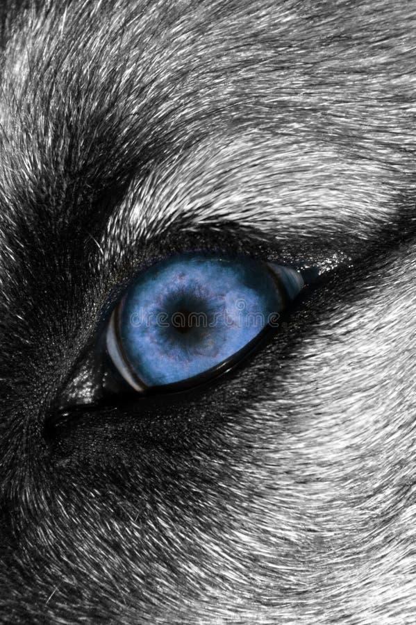 Ojo del lobo - más azul foto de archivo libre de regalías