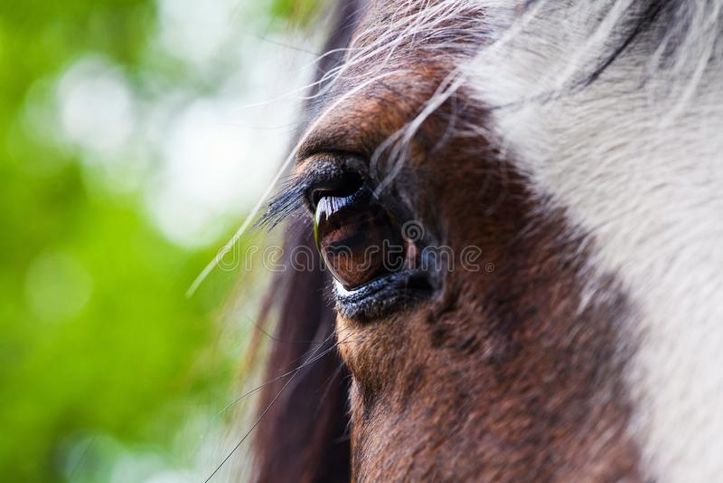 Ojo del primer rojo del caballo imagen de archivo