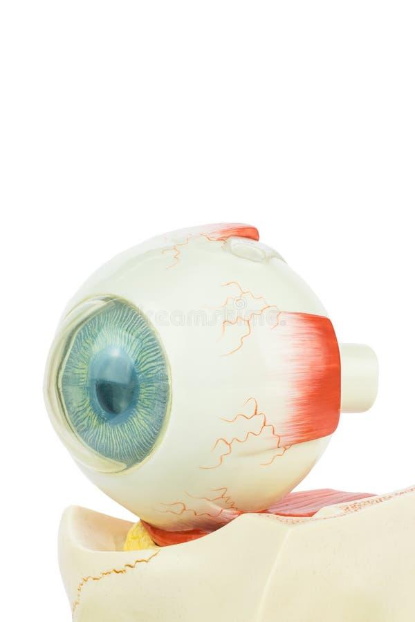 Ojo humano modelo aislado en el fondo blanco imágenes de archivo libres de regalías