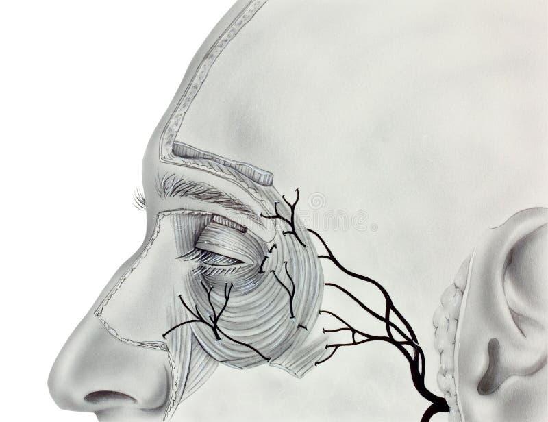 Ojo - músculos y nervios próximos fotos de archivo libres de regalías