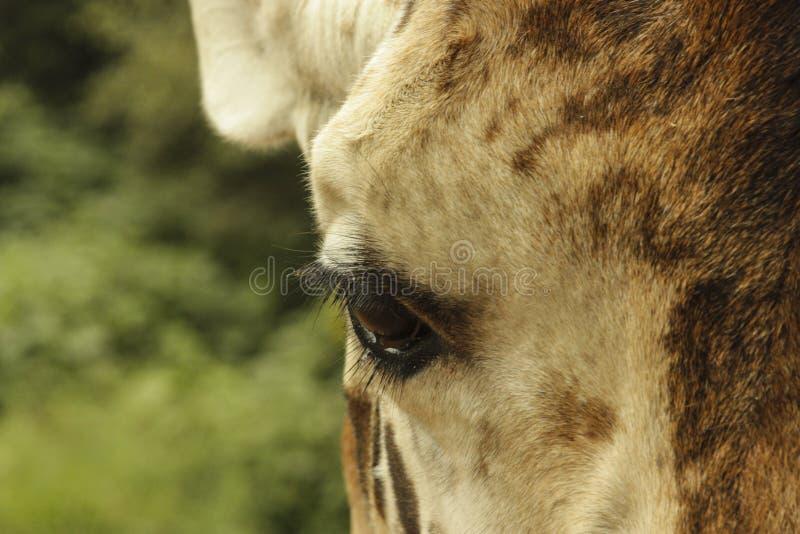 Ojo magnífico de la jirafa imagen de archivo libre de regalías
