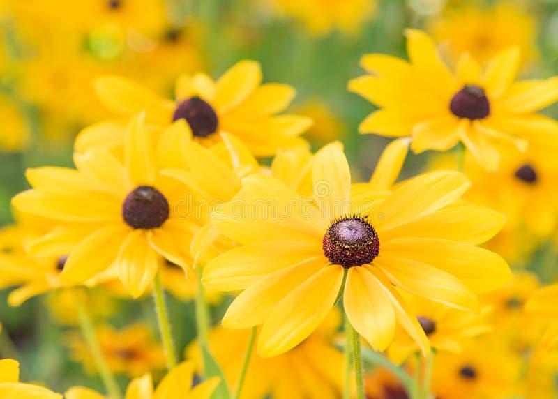 Ojo morado Susans que florece en jardín imagen de archivo