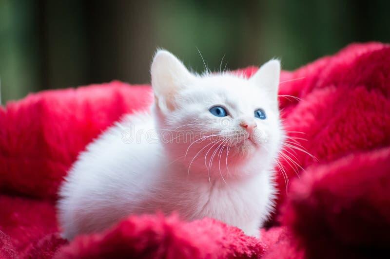 Ojos azules Kitty imagenes de archivo