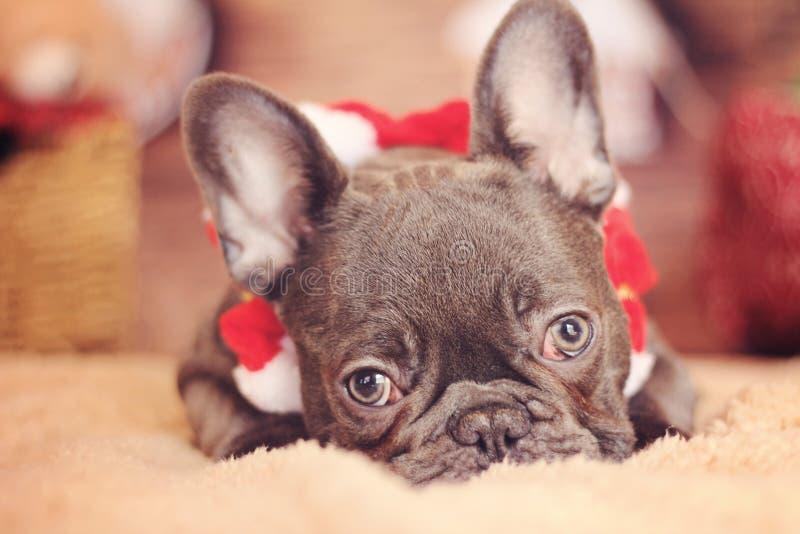 Ojos de la cara del perrito del dogo francés imagenes de archivo