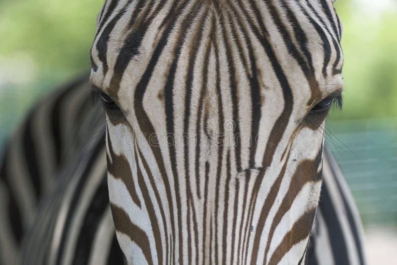 Ojos de la cebra foto de archivo libre de regalías