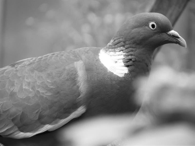 Ojos de la paloma imagen de archivo libre de regalías