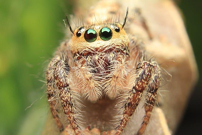 Ojos de salto del detalle de la araña beautyful fotos de archivo