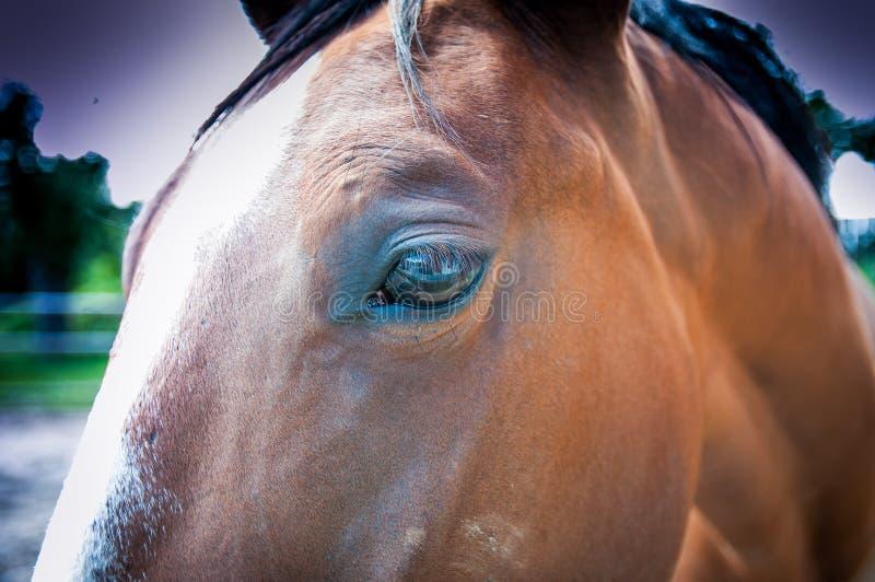 Ojos del caballo imagen de archivo