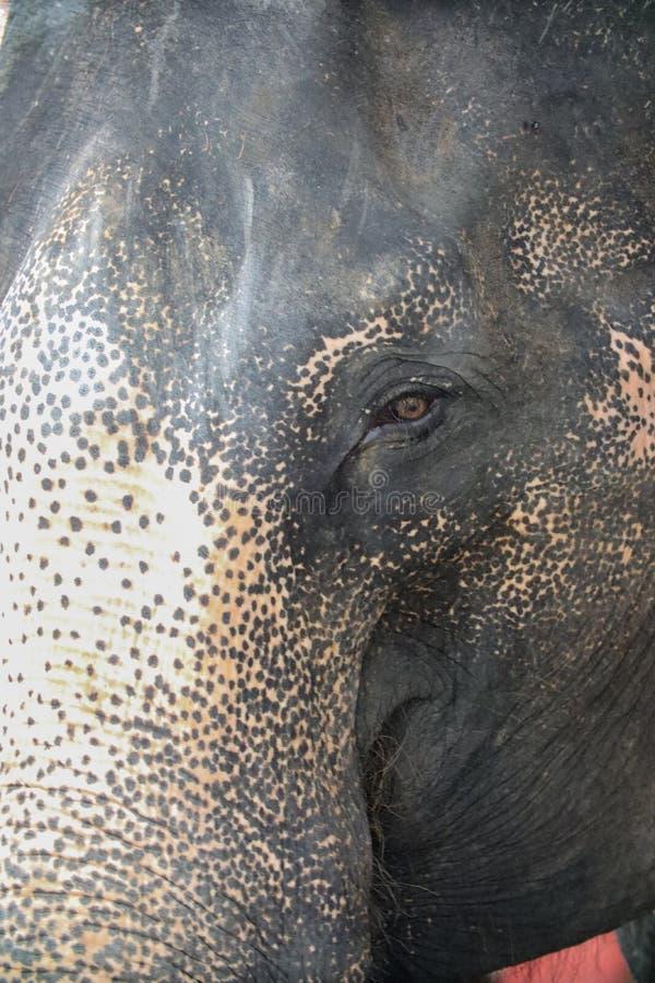 Ojos del elefante de Tailandia fotos de archivo