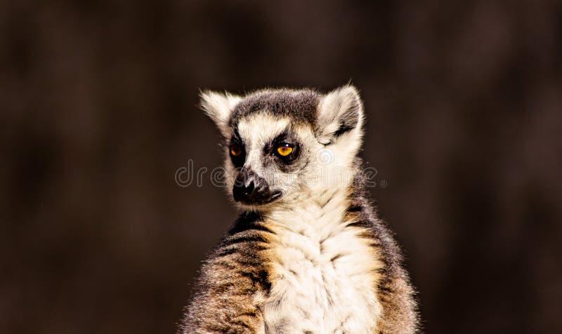 Ojos del lémur fotos de archivo