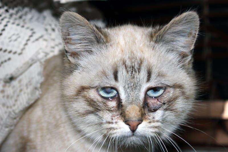 Ojos enfermos de un gato hermoso joven fotografía de archivo libre de regalías