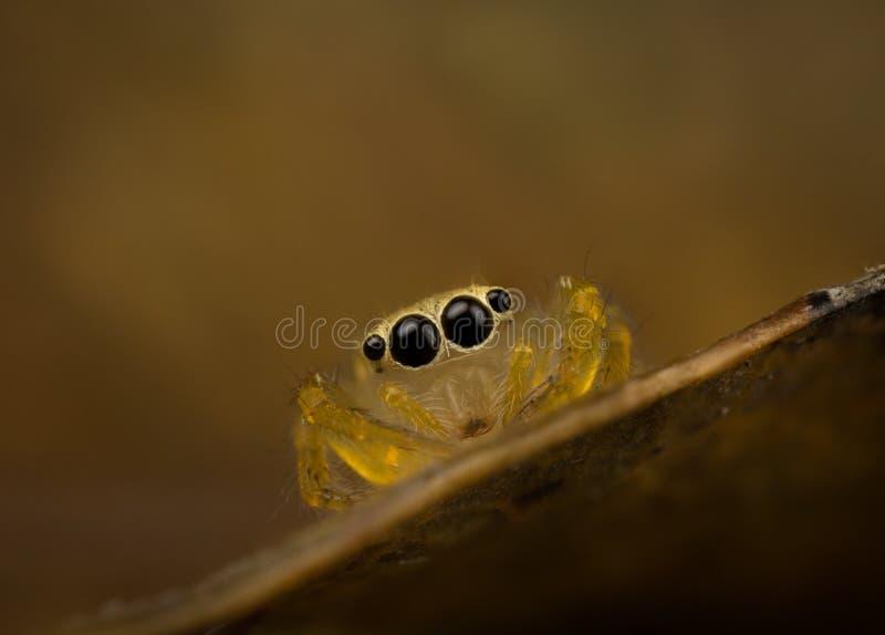 Ojos morados de salto de la araña imagen de archivo