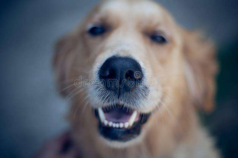 Ojos sonrientes del perro del golden retriever cerca encima de los dientes del blanco del retrato del foco imagenes de archivo
