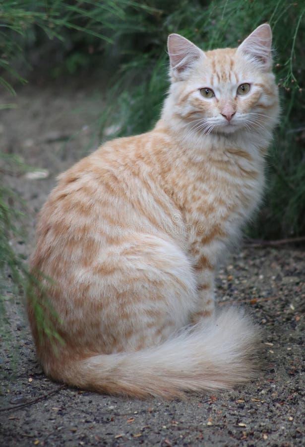 Ojos verdes salvajes adultos amarillos y gato blanco imágenes de archivo libres de regalías