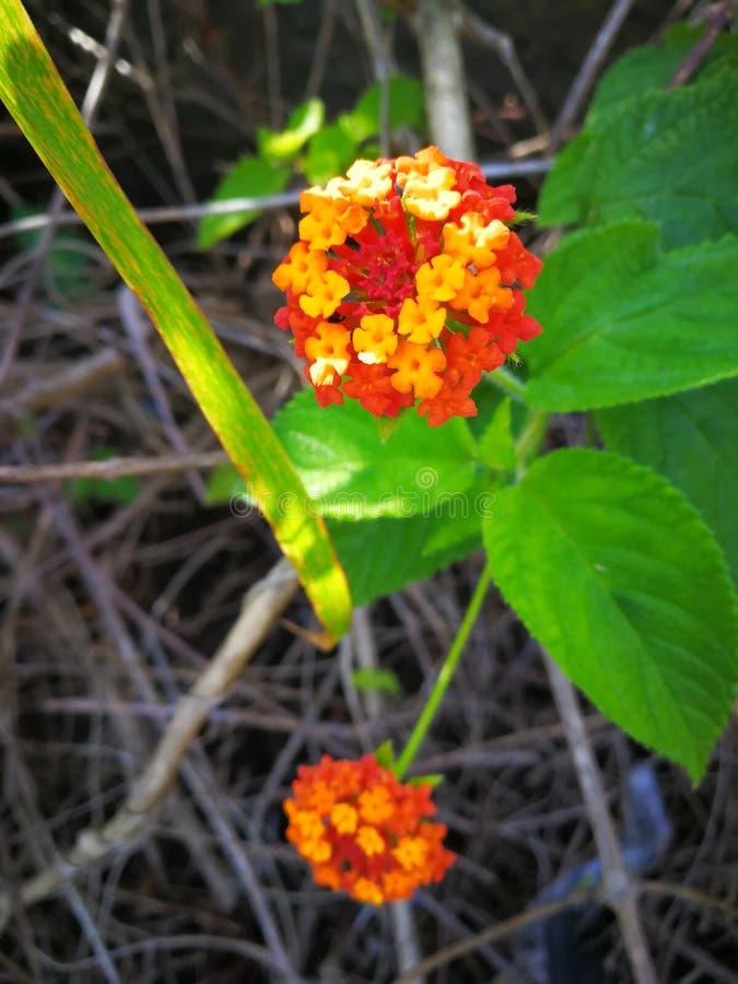Okänd brasiliansk röd och gul blomma royaltyfria foton