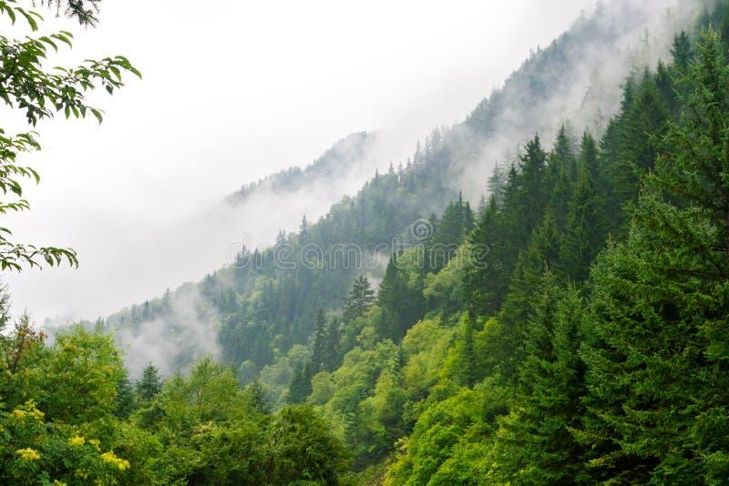 okładkowa lasowa mgły ranek sosna zdjęcia royalty free
