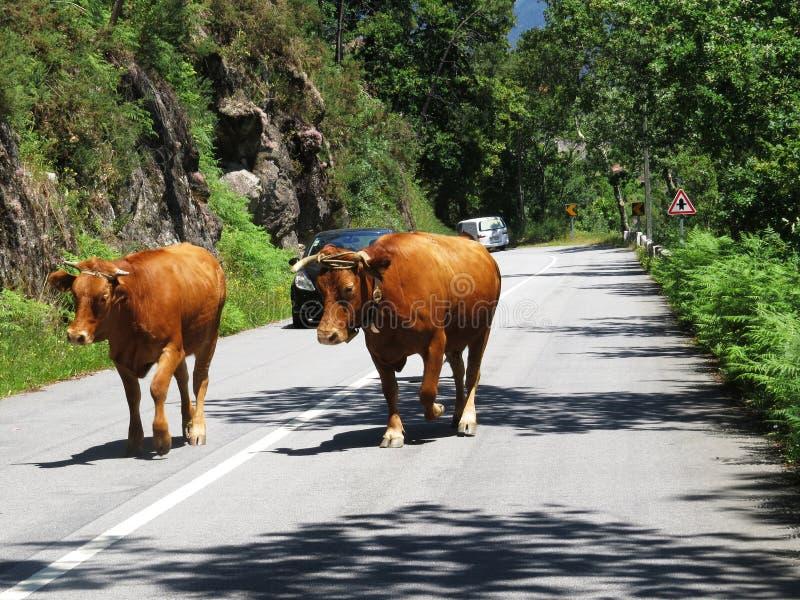 Okaleczać krowy Chodzi Wolno - podróż Europa, Portugalia zdjęcia royalty free