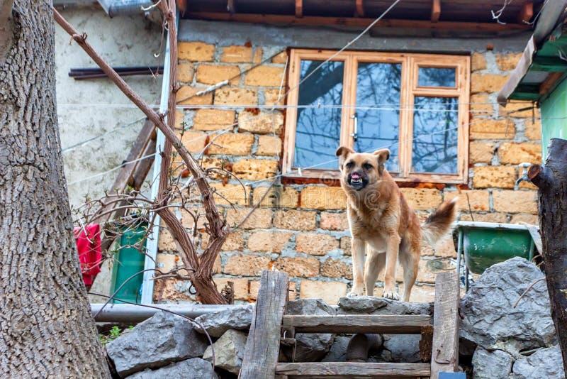 Okaleczający pies outdoors zdjęcie royalty free