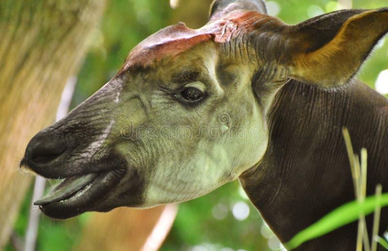 Okapi σε ένα δάσος στοκ εικόνες με δικαίωμα ελεύθερης χρήσης