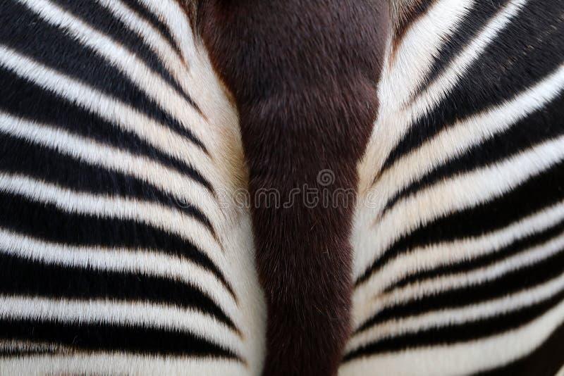 okapi imágenes de archivo libres de regalías