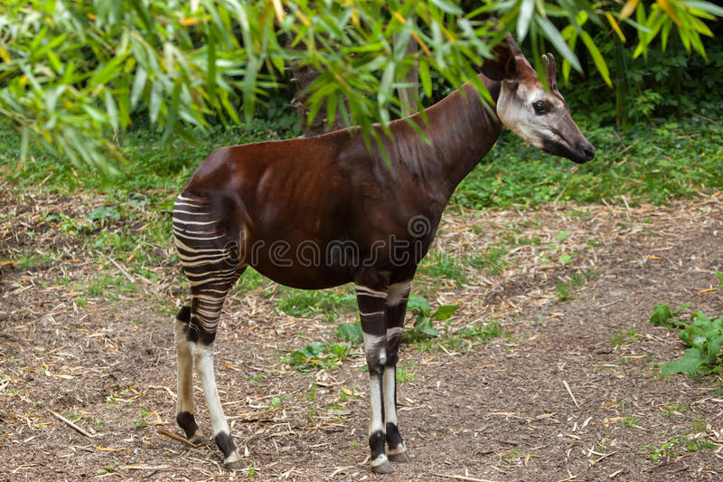 okapi photos stock