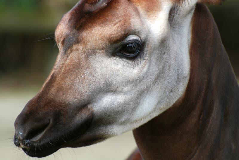 Okapi imagens de stock royalty free