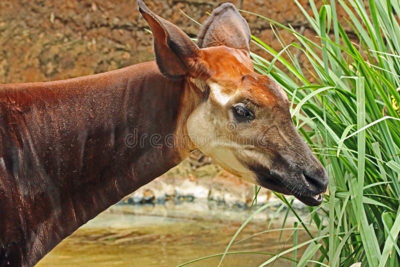 Okapi. Female African Antelope Close Up stock photos