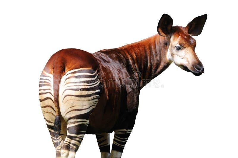Okapi isolato su priorità bassa bianca fotografie stock libere da diritti