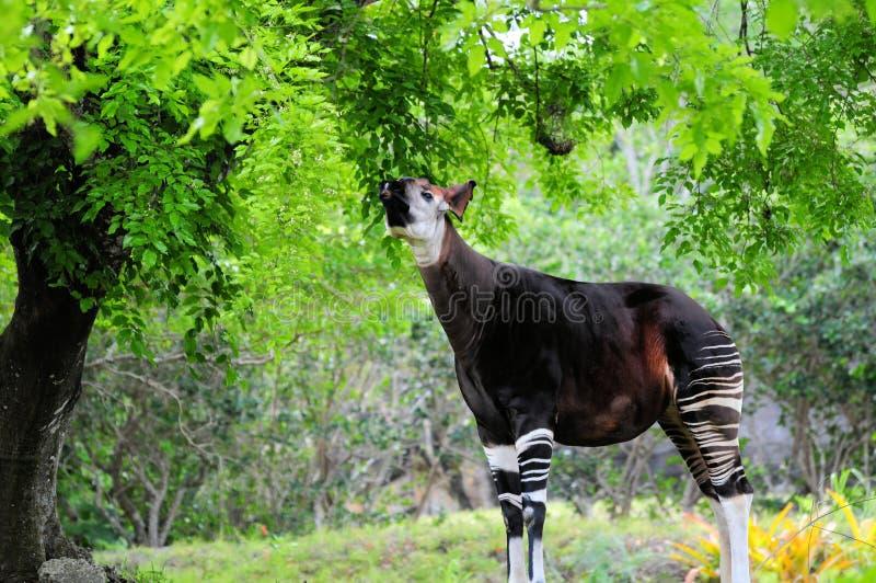 Okapi no jardim zoológico foto de stock